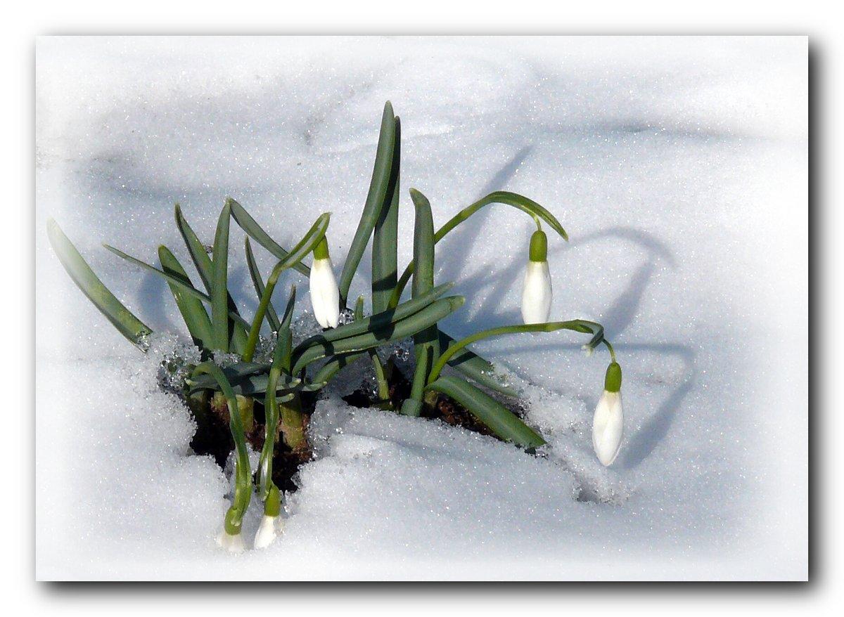 остался картинки гифки снег и подснежники представляют собой