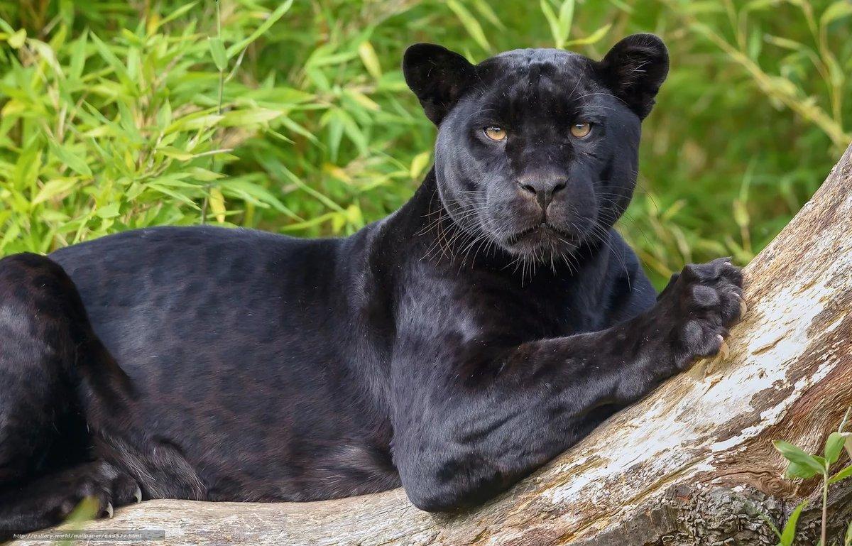 Ялта, пантера в картинках