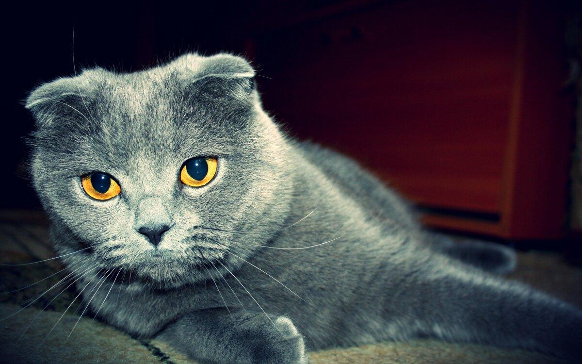 картинки британских вислоухих котов и кошек сможете