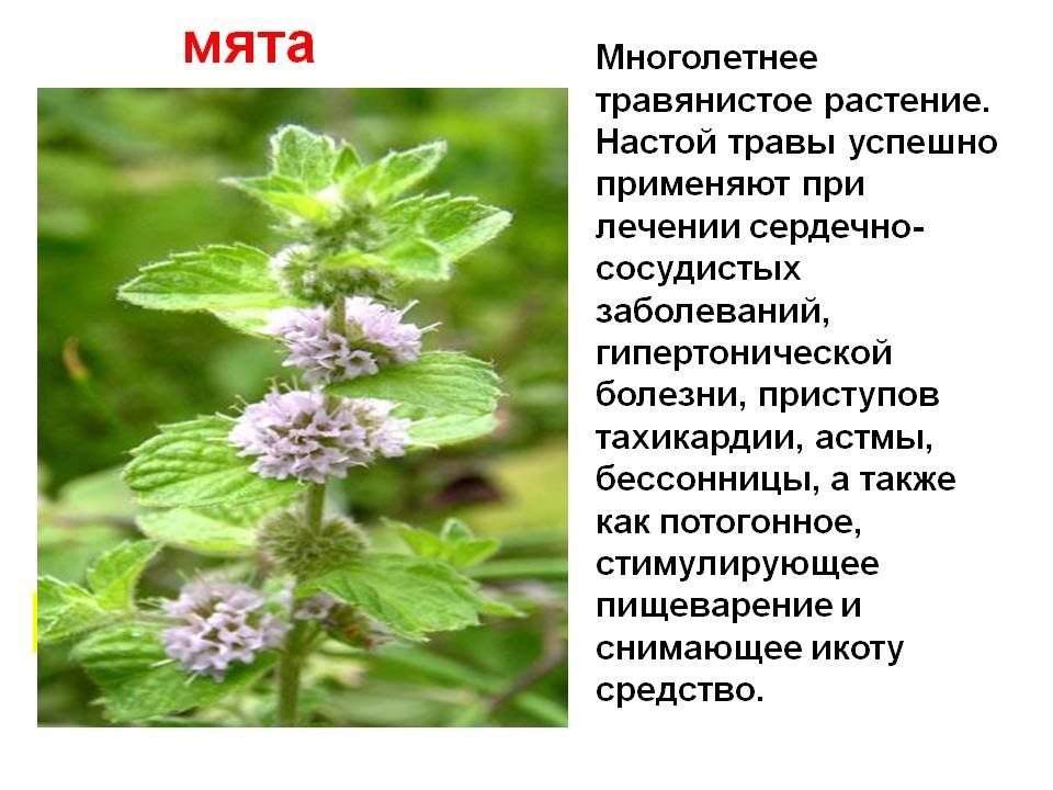 Лекарственные растения описание картинка
