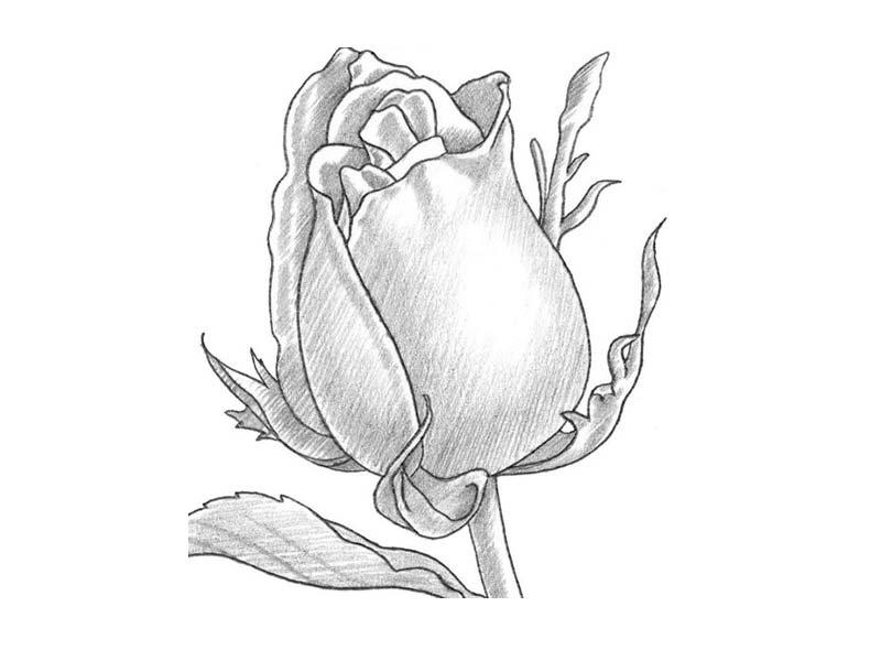 как нарисовать розу карандашом фото