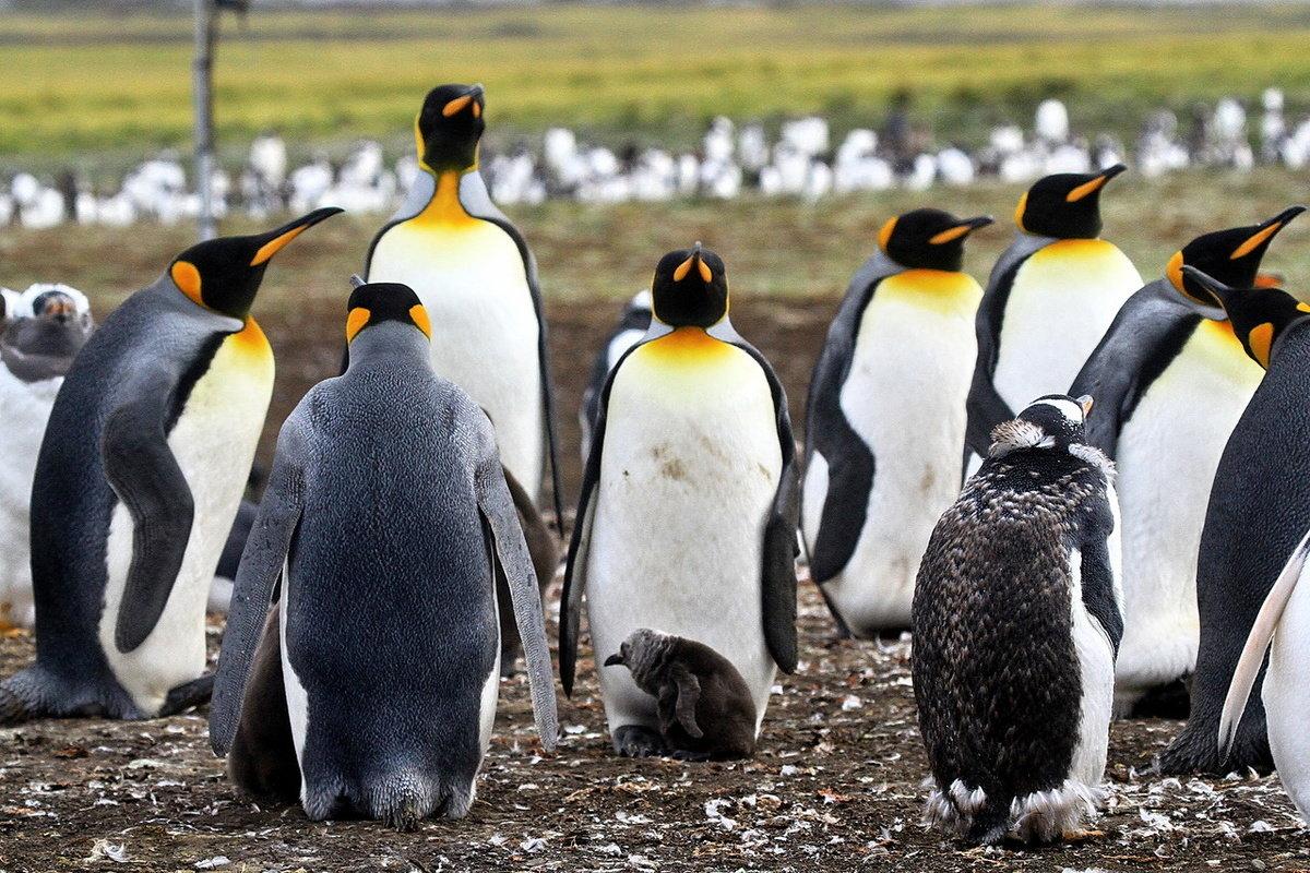 королевские пингвины фото соусом сметаны одно