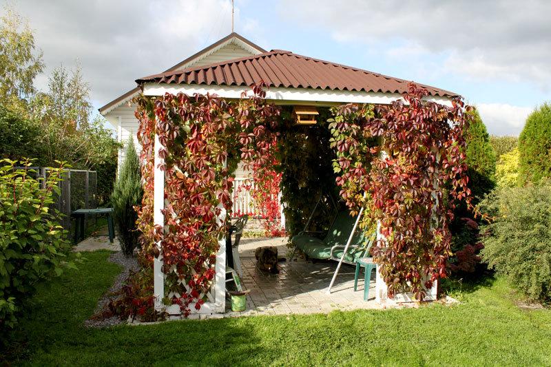 дикий виноград в ландшафтном дизайне фото