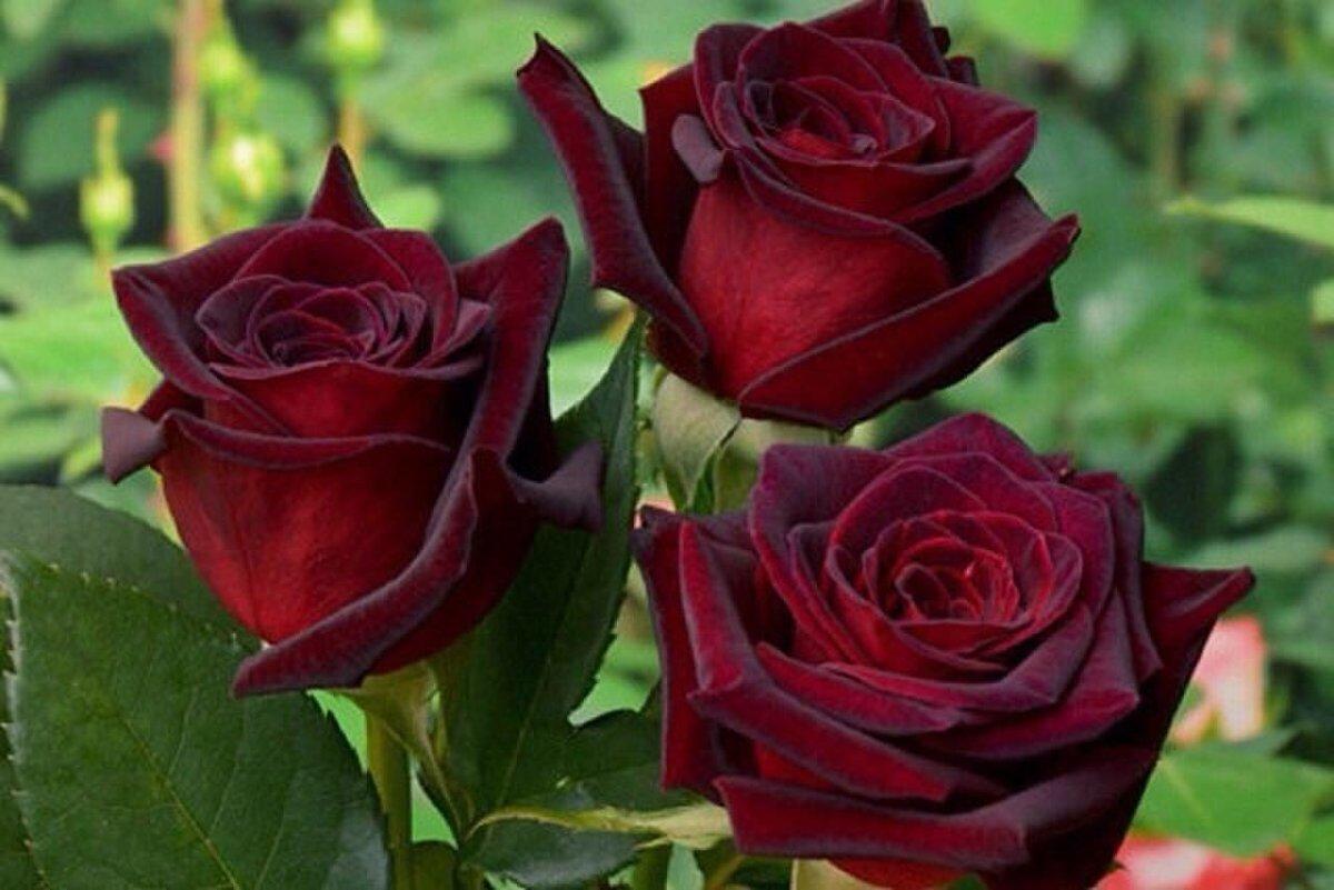 Открытка с днем рождения розы черный принц