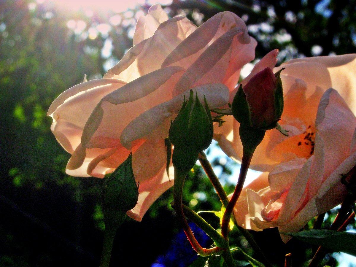 тебе расположен розы в лучах солнца картинки наконец