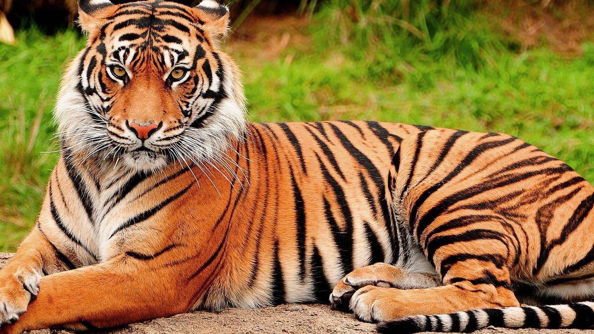 Картинки с тиграми, читай