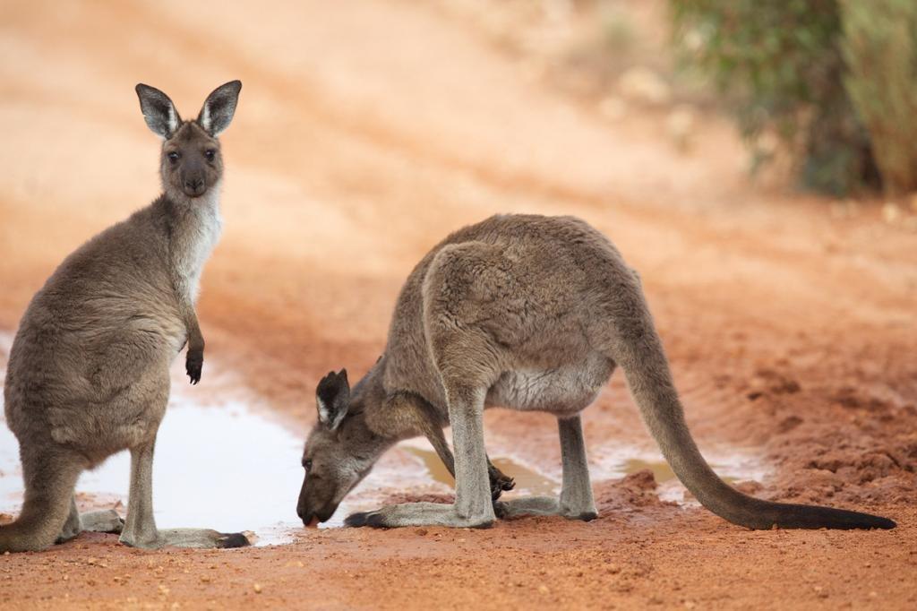 Австралийское животное картинки