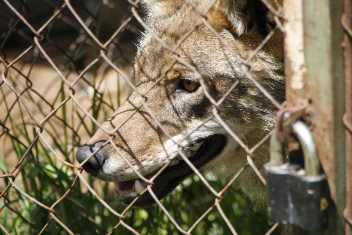 Волк в клетке картинки