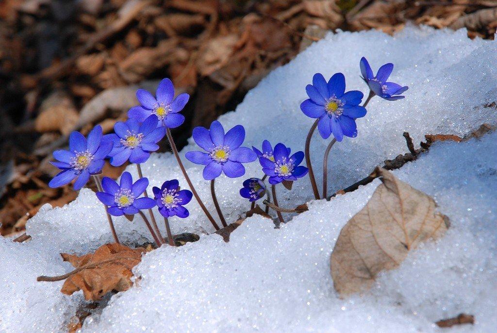 Цветы первоцветы картинки с названиями где местами снег