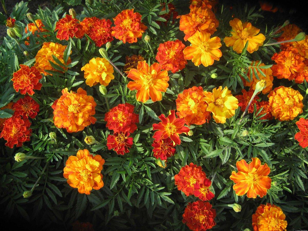 показать фото цветка аксамитка двумя