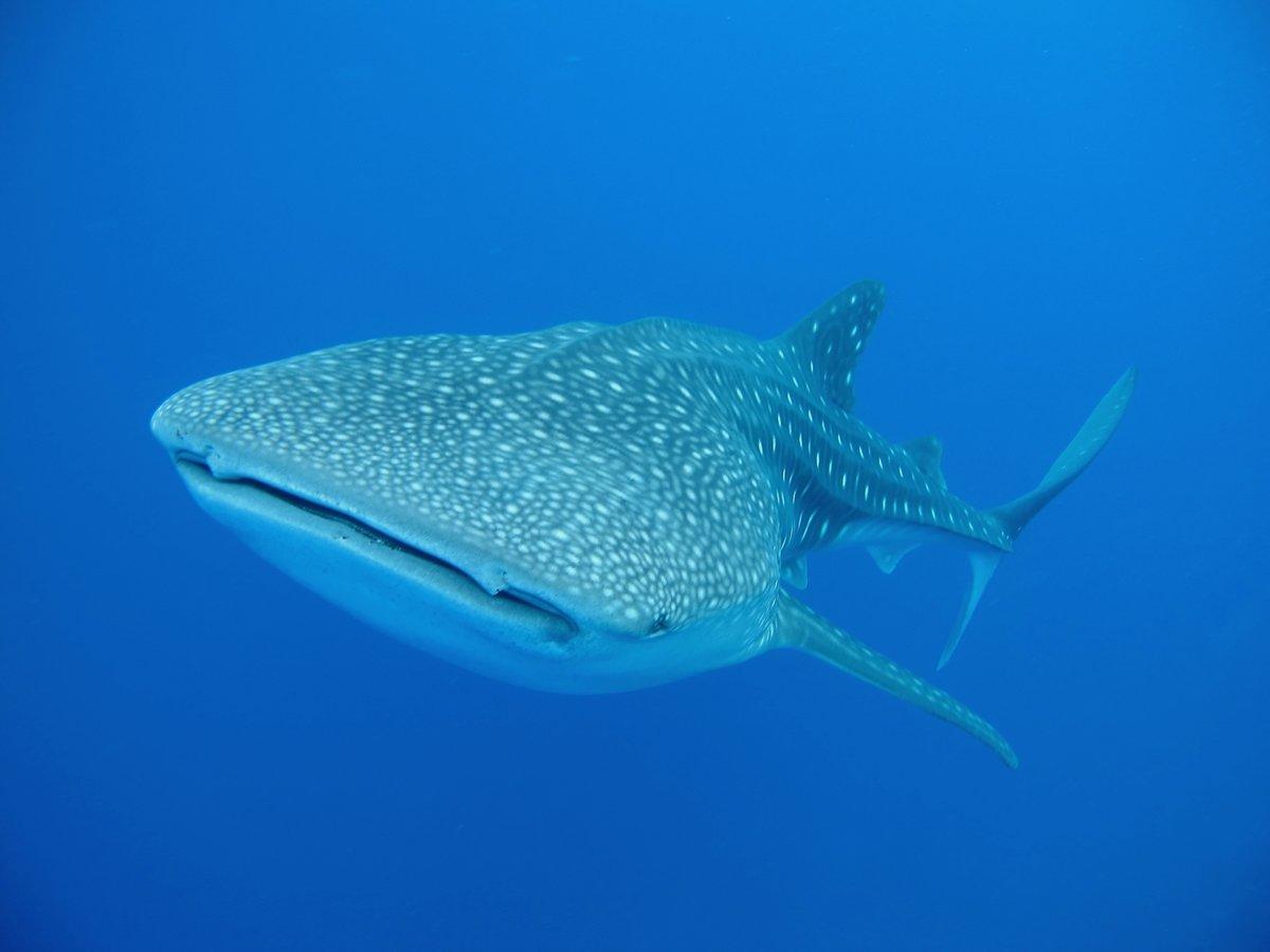 Картинка как выглядит китовая акула