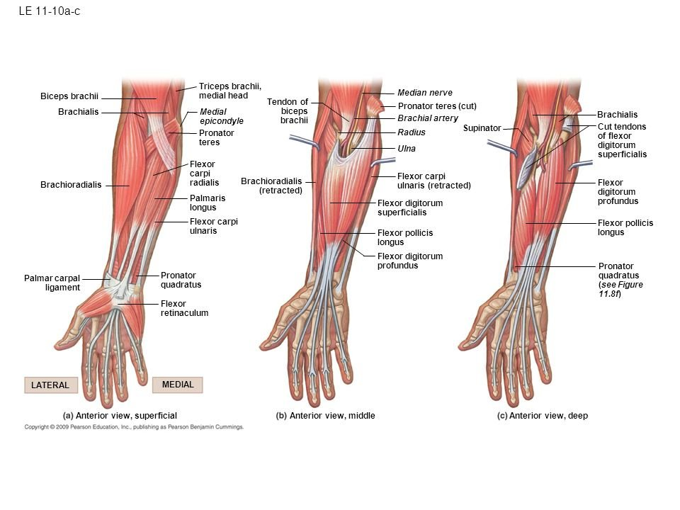 Brachialis Muscle Locations Actions And Trigger Points Groun\