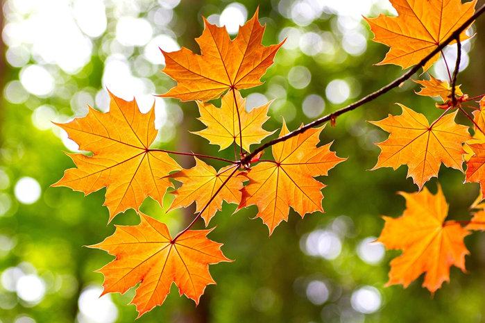 Осень златокудрая. Ветка клёна осенью» — карточка пользователя ...