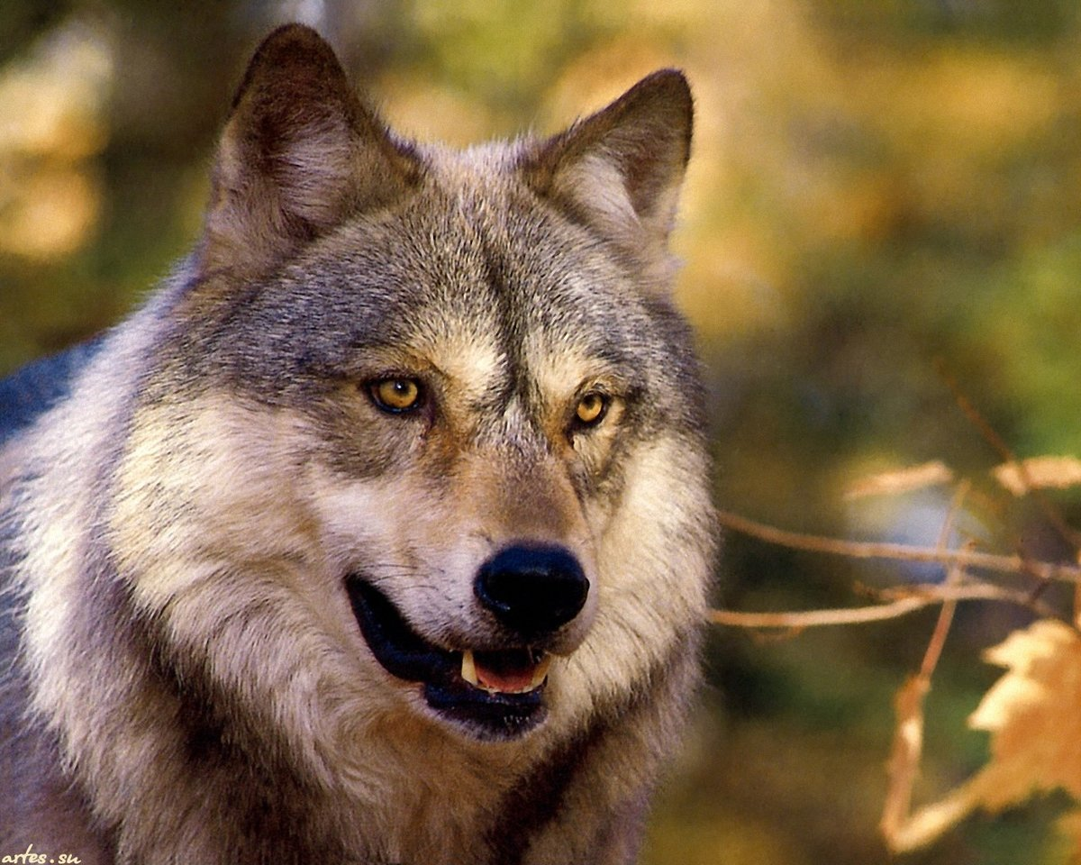 Волк открытка
