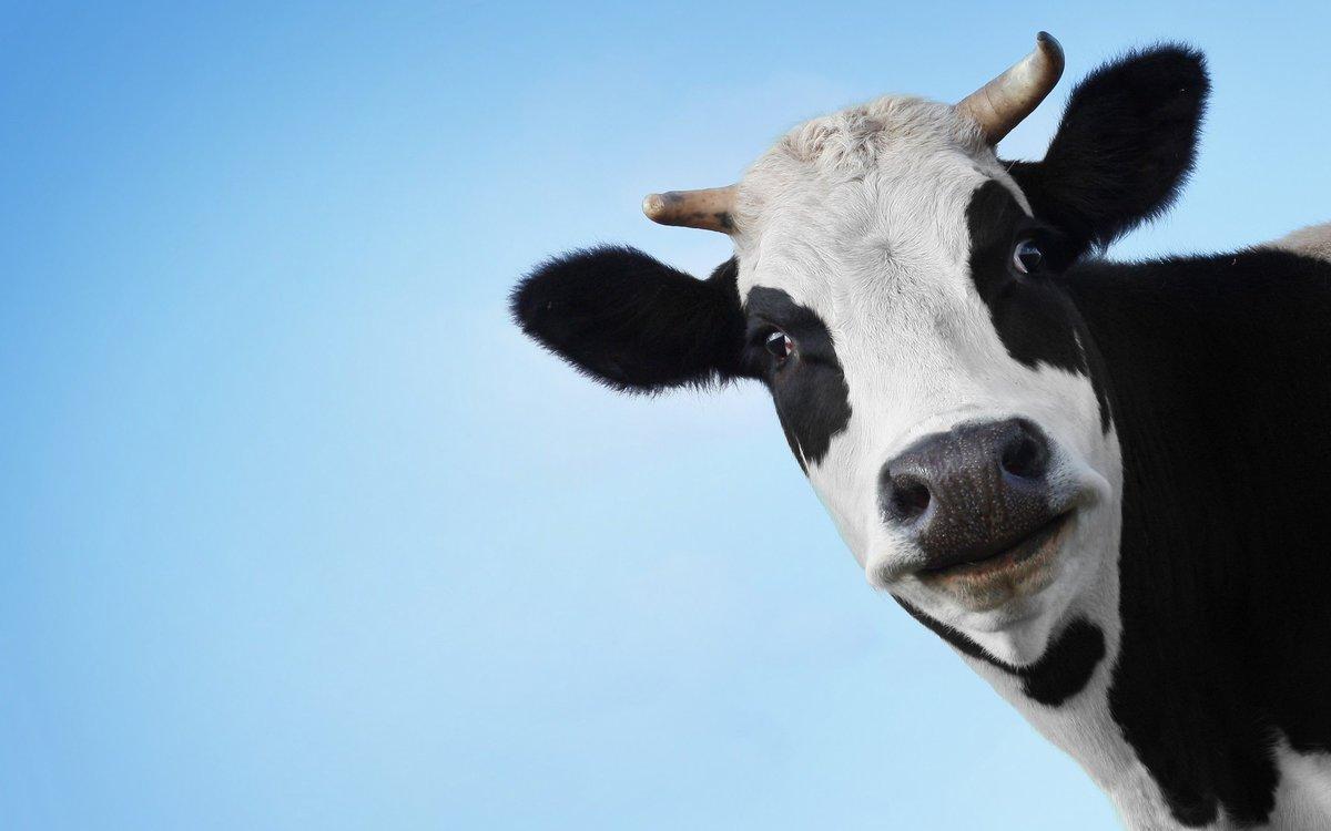 Альбом для, корова картинка смешная
