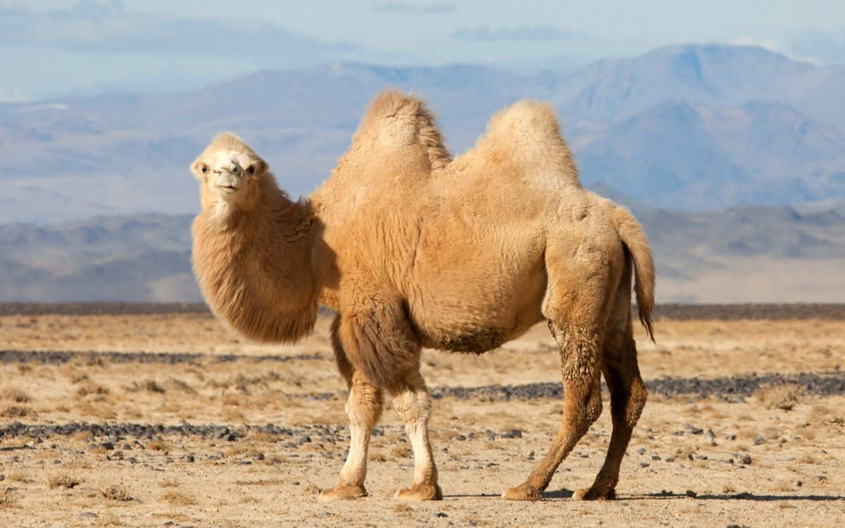Верблюд в картинках, вапсап