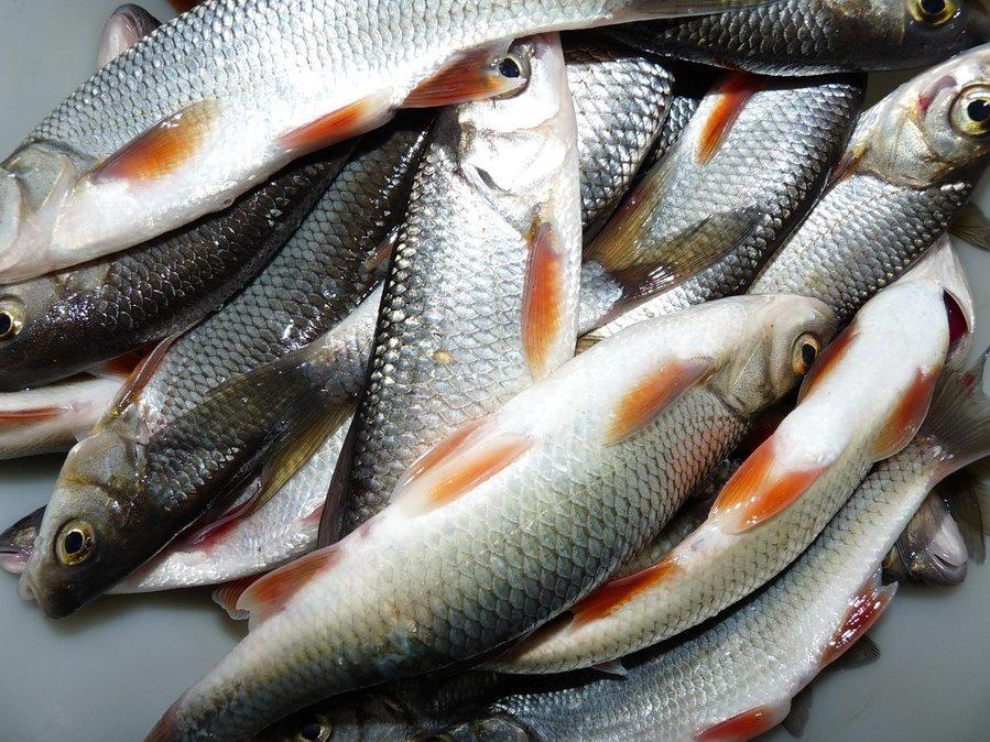 чебак рыба фото вблизи покажу свои