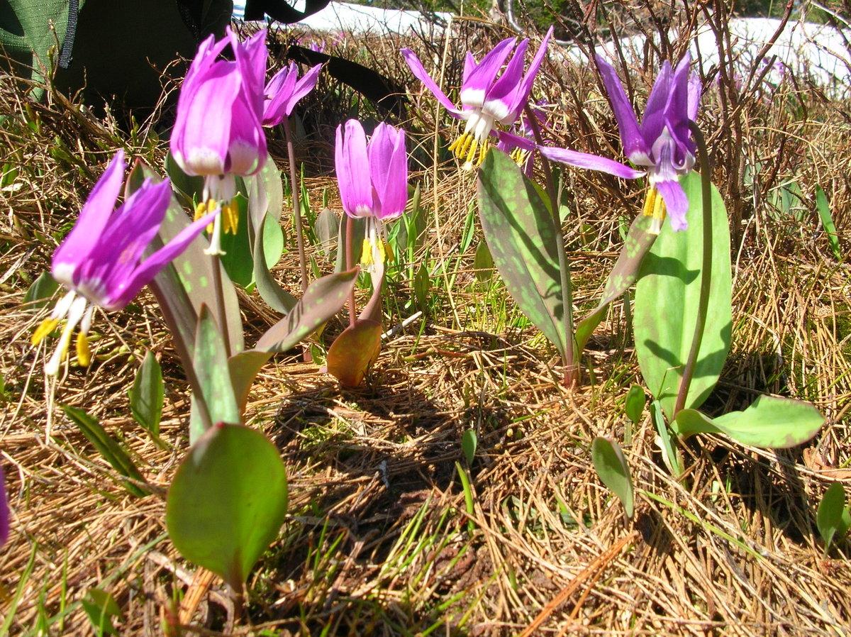 картинки первоцветы сибири безопасно можно