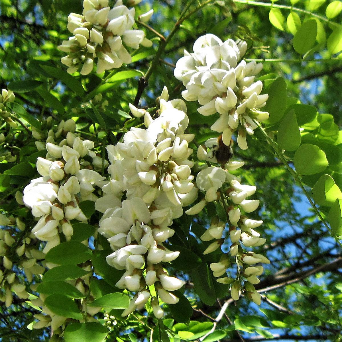 акация цветок фото
