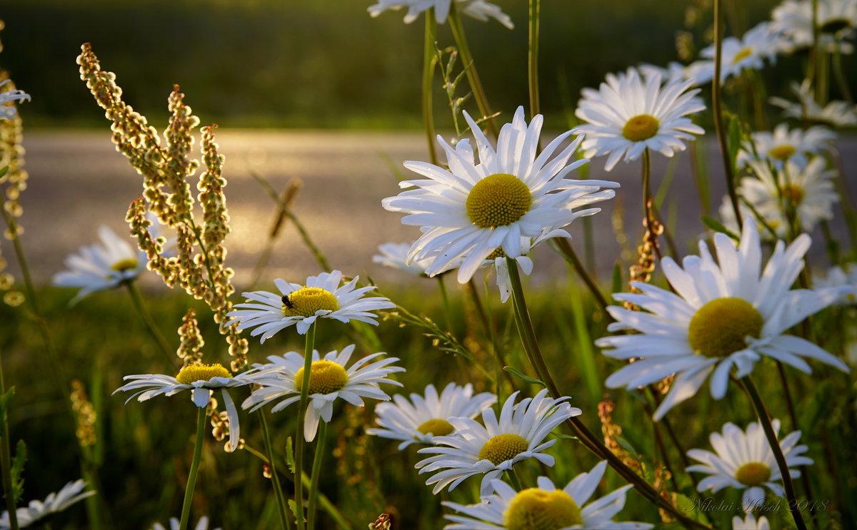 может быть картинки с добрым вечером с видом на солнечное поле ромашек садриддин