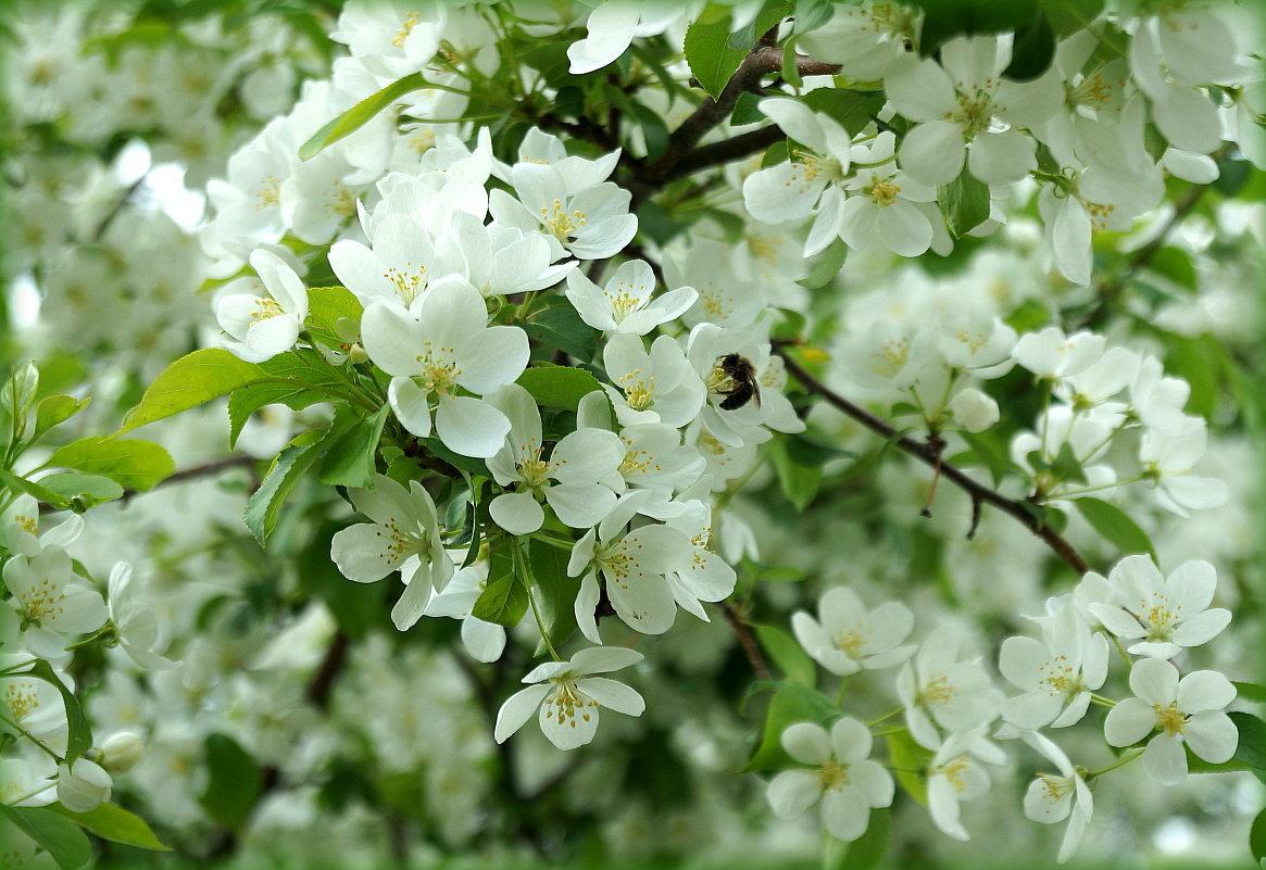 Картинки яблоневый цвет