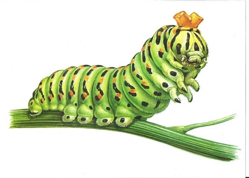 Картинка гусеница листовертка для детей