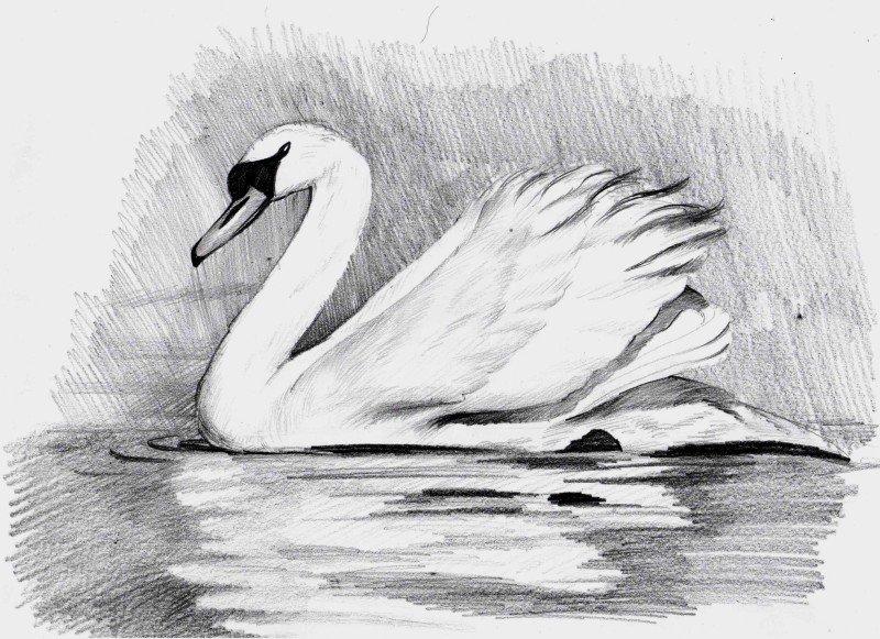 Легкие картинки лебедя