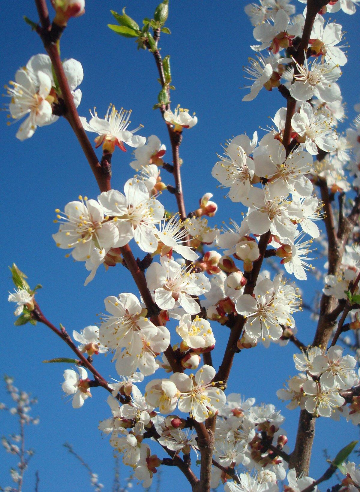 картинки цветущих деревьев абрикос смотреть рационы для подсосных