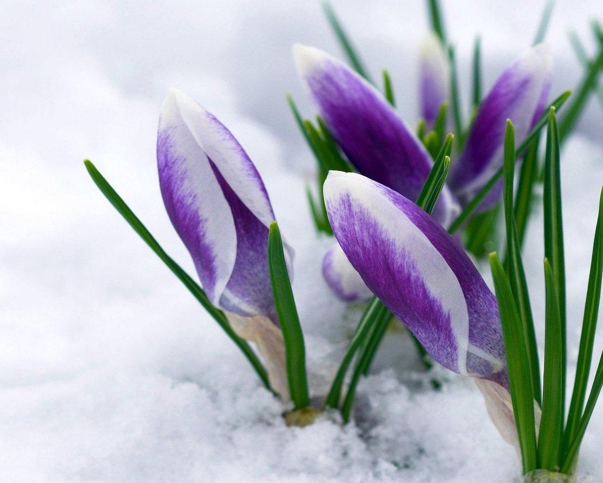Волшебные, открытки первые весенние цветы