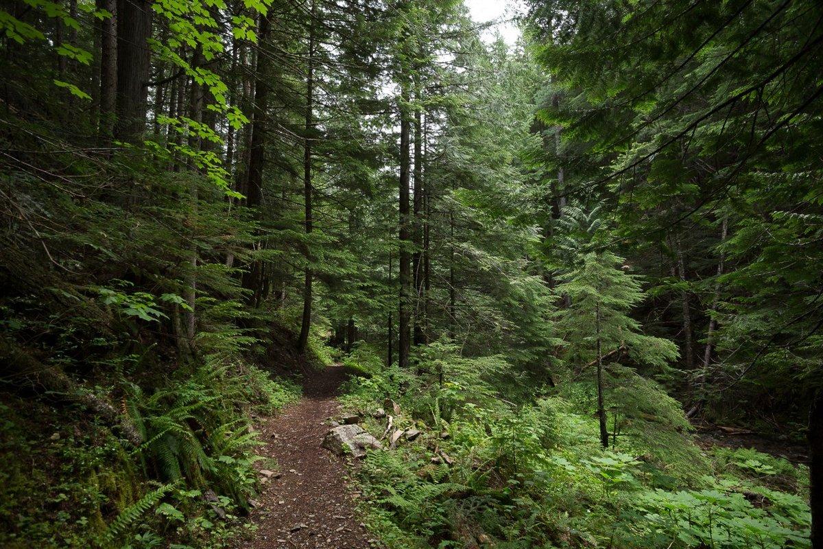 Еловый лес картинки