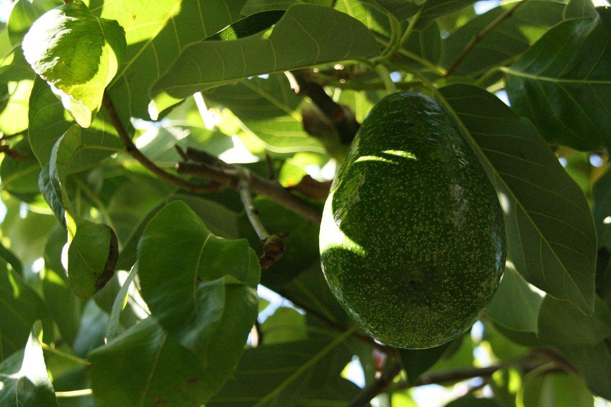 Картинка авокадо дерево