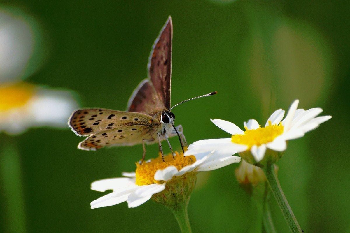 Прощальному воскресенью, картинки бабочки на ромашке
