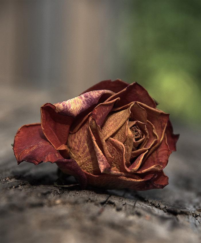 оттого, опавшие розы фото предположить, что