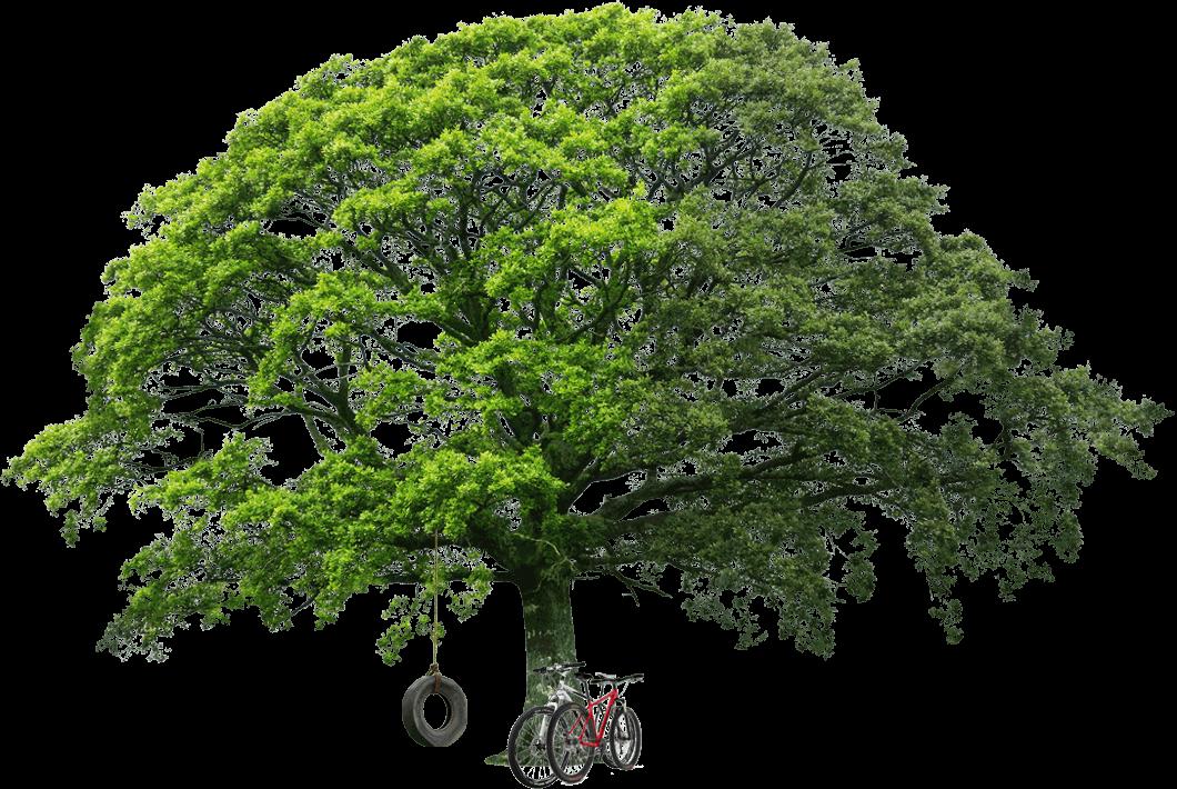 раскидистое дерево картинки без фона кто-то болеет расскажите