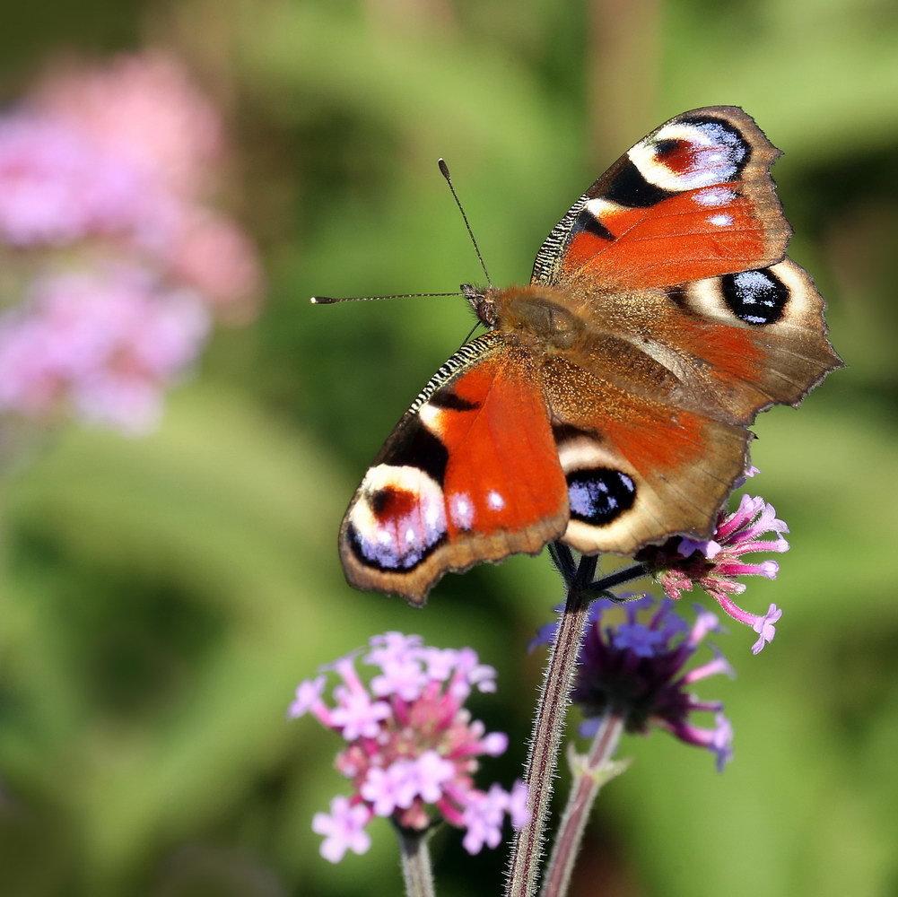 Фото бабочки павлиний глаз дневной
