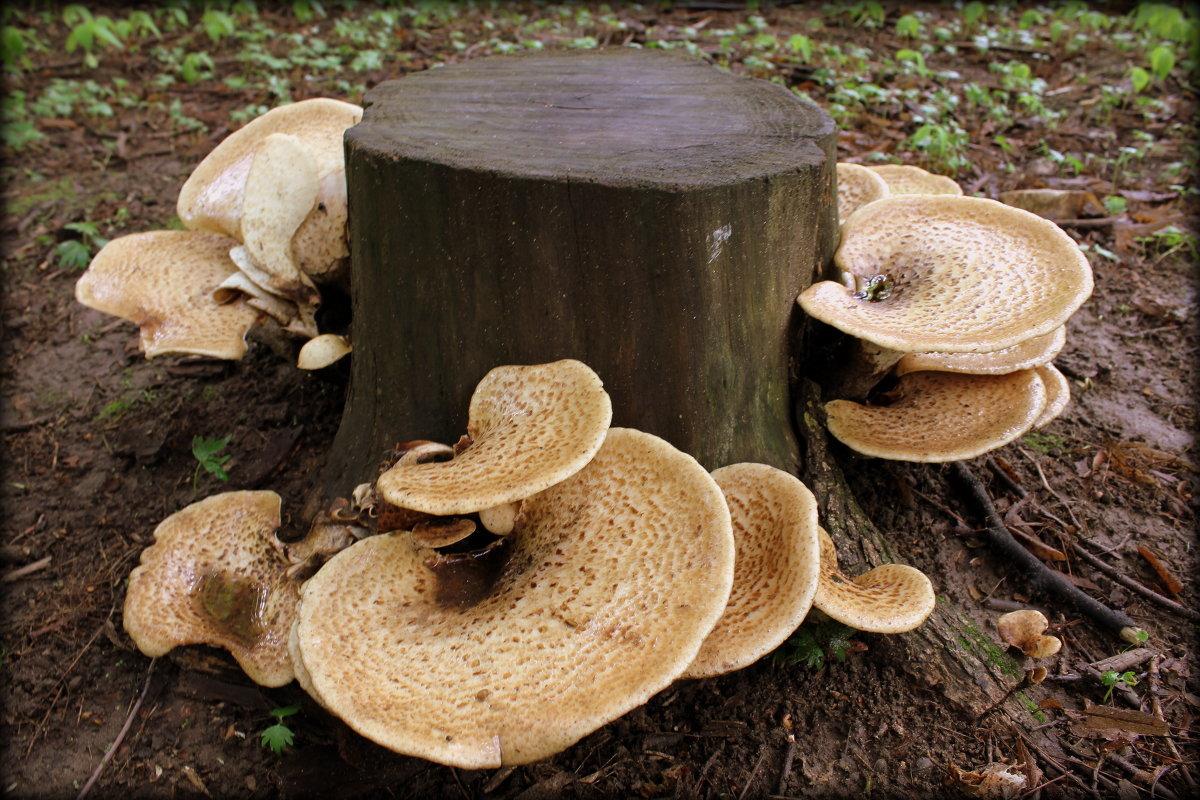 Картинки грибов которые растут на пнях