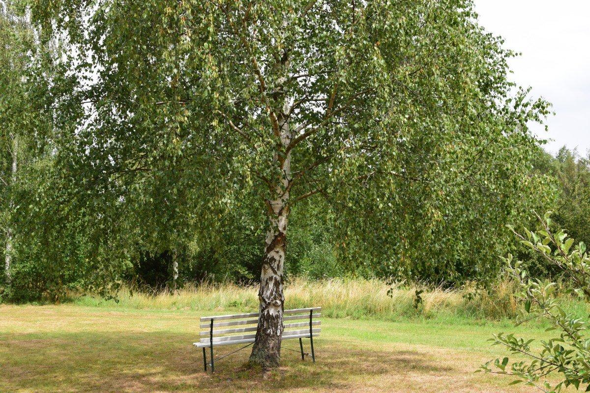 Картинка дерево береза