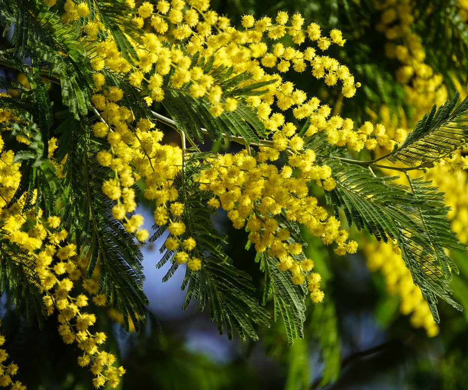 Картинки мимозы, цветущие деревья, цветы