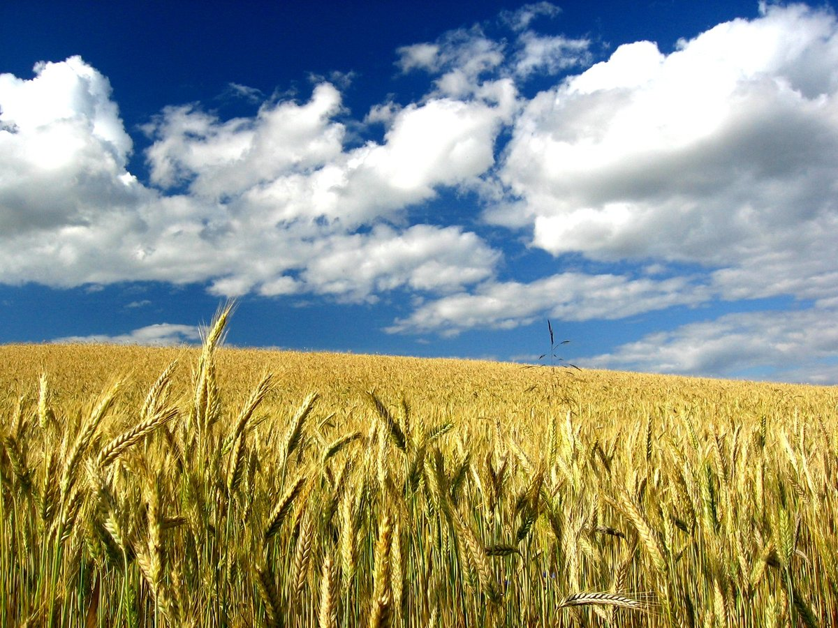 фото пшеничного поля и синего неба видео занимают большое