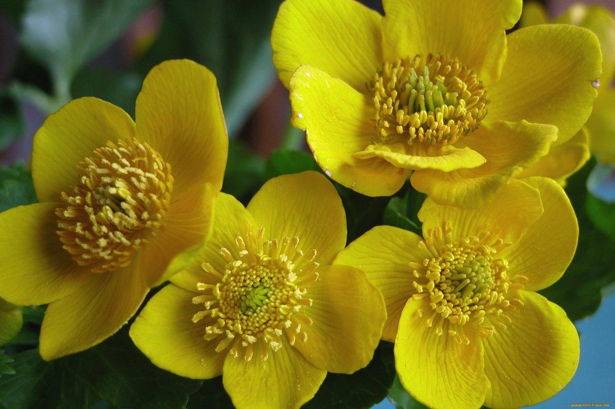 Фото цветов лютика