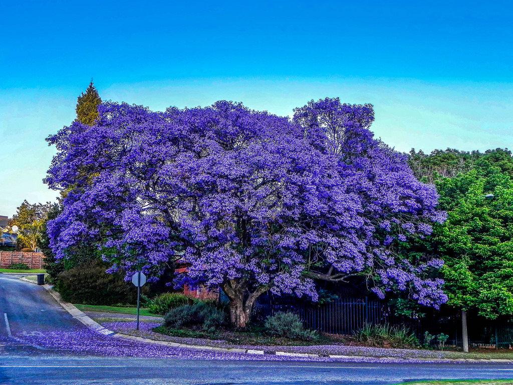 лиловое дерево фото разница