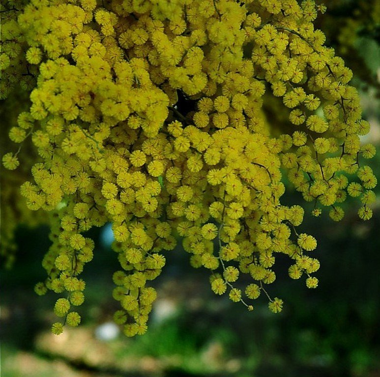 Мимоза цветок фото желтая