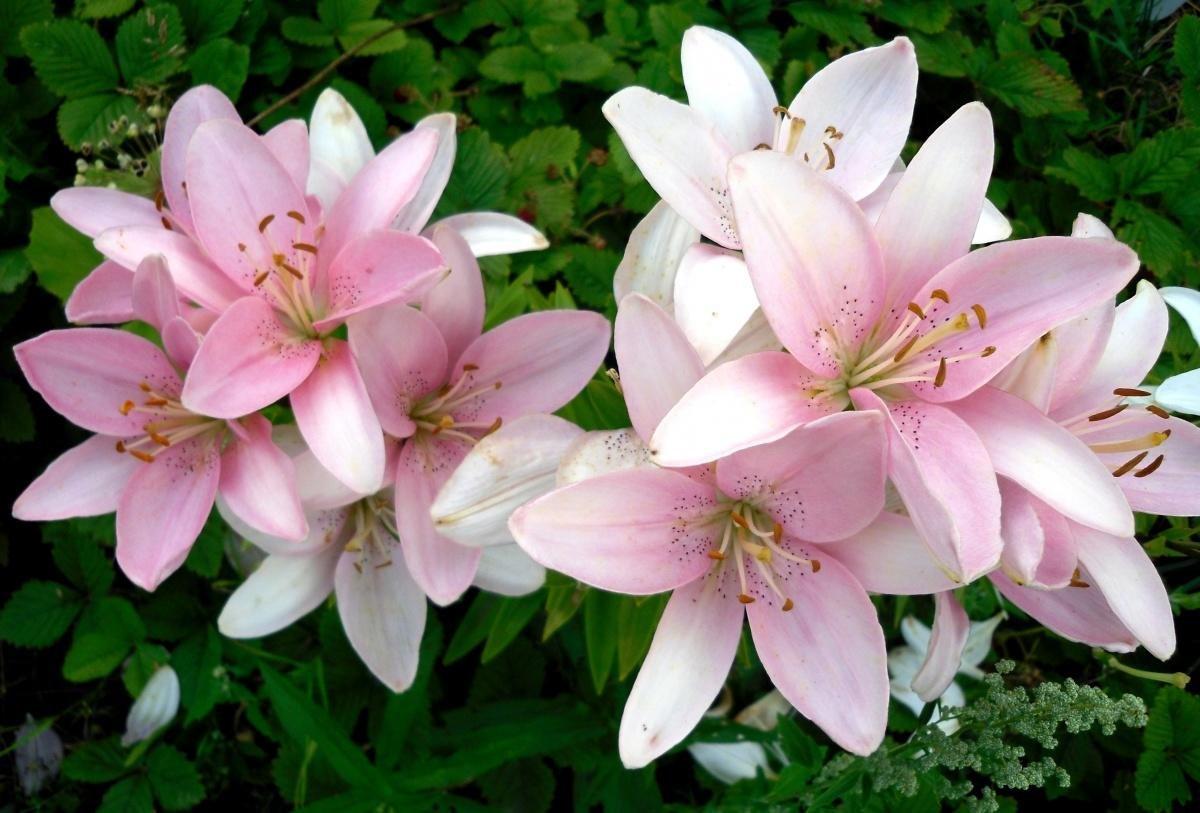 Нежно розовая лилия фото