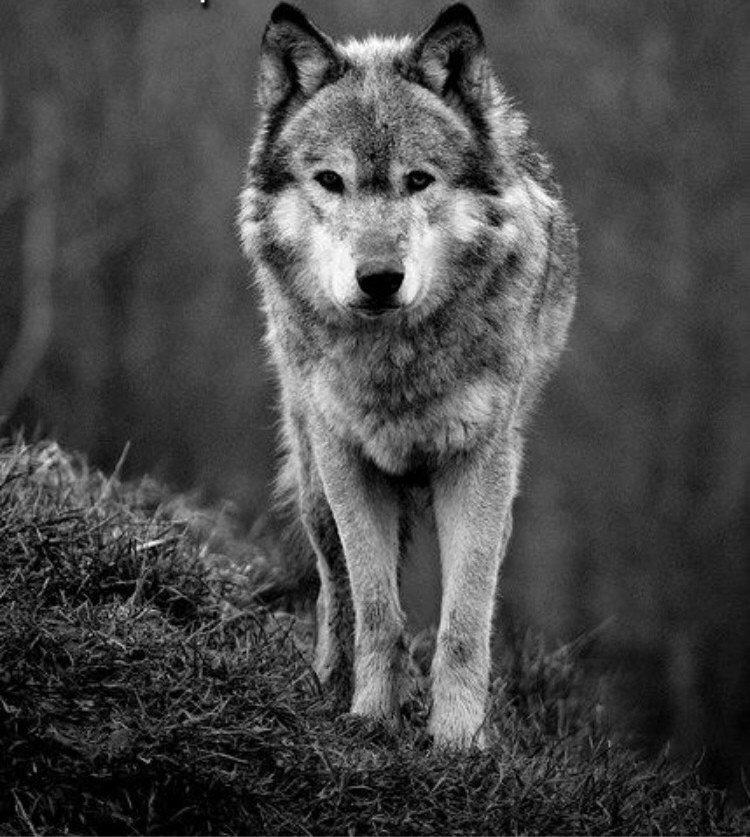 подал фотографии волков одиночек легенде, любовь имела