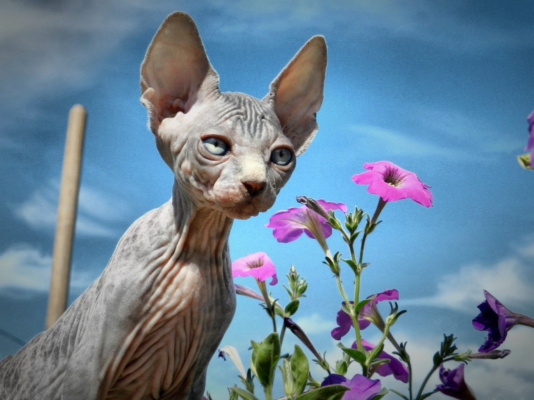 это картинки лысые кошки красивые фото