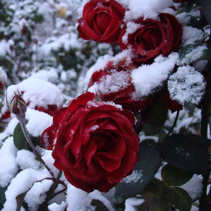 Картинки снег розы, картинки