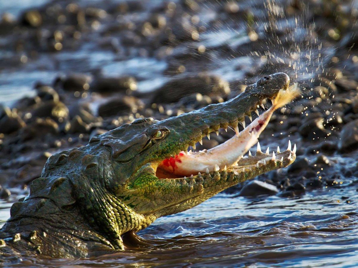 Крокодил фото хорошего качества