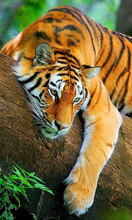 тигр на дереве