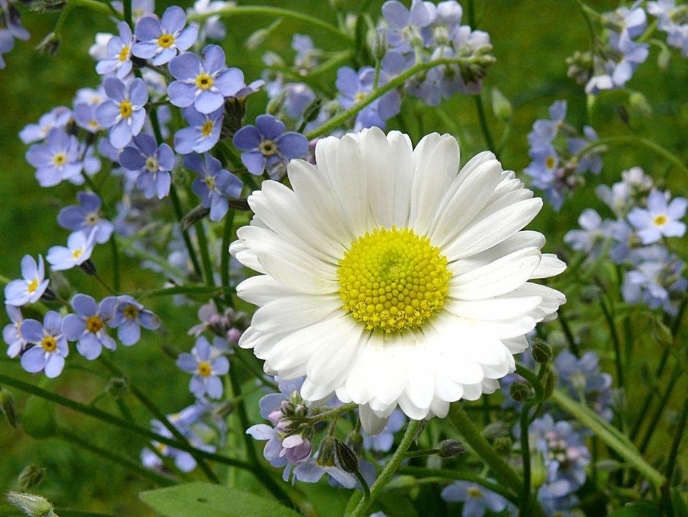 ромашки полевые цветы фото плейкаст