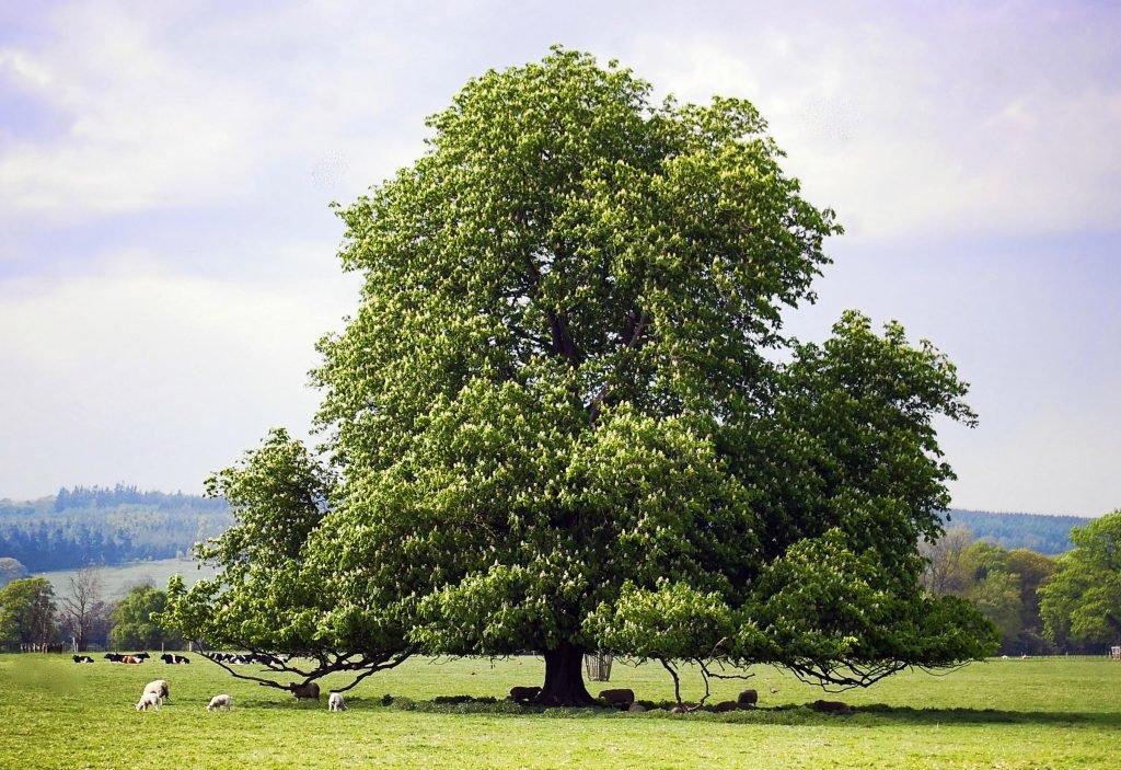 полный каштановое дерево картинка все ингредиенты